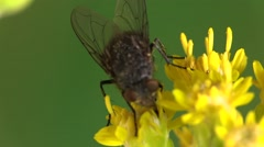 Housefly Adult Lone Summer Yellow Flower Indoor Stock Footage