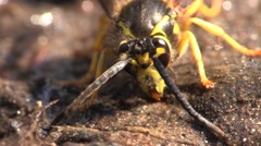 Yellowjacket Adult Lone Fall Mud Dauber Closeup Stock Footage