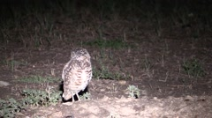 Burrowing Owl Lone Fall Night Spotlight Stock Footage