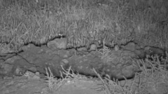 Badger Adult Lone Hunting Fall Night Digging Prairie Dog Hole Infrared Stock Footage