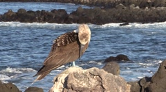 Blue-footed Booby Lone Fall Rock Waves Stock Footage
