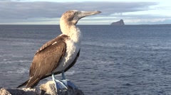 Blue-footed Booby Lone Fall Stock Footage