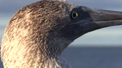 Blue-footed Booby Lone Fall Head Feet Tilt Down Stock Footage