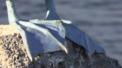 Blue-footed Booby Lone Fall Feet Head Tilt Up Stock Footage