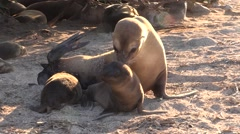 Galapagos Sea Lion Female Adult Young Nursing Fall Aggression Pups - stock footage