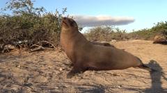 Galapagos Sea Lion Walking Fall Sandy Beach Stock Footage