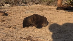 Galapagos Sea Lion Young Fall Pup Stock Footage