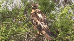 Galapagos Hawk Lone Fall Stock Footage