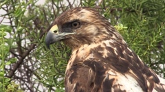 Galapagos Hawk Lone Fall Head Beak Bill Zoom Out Stock Footage
