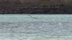 Blue-footed Booby Flying Fall Diving Plunging Fishing Stock Footage