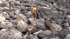 Galapagos Hawk Family Feeding Fall Stock Footage