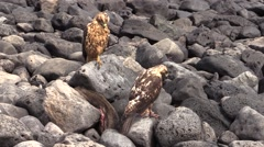 Galapagos Hawk Pair Fall Rocks Carrion Stock Footage