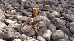 Galapagos Hawk Feeding Fall Rocks Shore Beach Stock Footage
