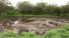 Galapagos Tortoise Adult Many Resting Fall Santa Cruz Island Mud Water Pond Stock Footage