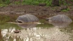 Galapagos Tortoise Adult Many Resting Fall Santa Cruz Stock Footage