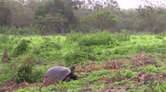 Stock Video Footage of Galapagos Tortoise Adult Lone Fall Santa Cruz