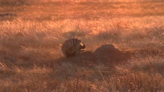 Badger Lone Fall Sunset Orange Backlight Stock Footage