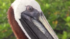 Brown Pelican Adult Lone Fall Eye Bill Closeup - stock footage