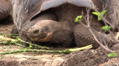 Galapagos Tortoise Adult Feeding Fall Stock Footage