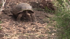 Galapagos Tortoise Adult Lone Walking Fall Trail - stock footage
