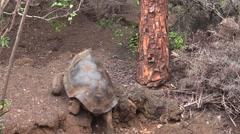 Galapagos Tortoise Adult Lone Walking Fall Stock Footage
