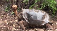 Galapagos Tortoise Adult Lone Fall Saddleback Shell Stock Footage