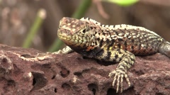Lava Lizard Lone Fall Santa Cruz Island Closeup Stock Footage