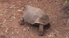 Galapagos Tortoise Adult Lone Walking Fall Zoom Out Stock Footage