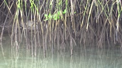 Mangrove Fall Shoots Branches Saltwater - stock footage