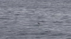 Storm Petrel Several Feeding Fall Handheld Stock Footage