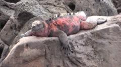 Marine Iguana Male Adult Lone Resting Fall Floreana Island Stock Footage