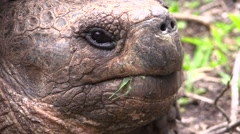 Galapagos Tortoise Adult Lone Fall Floreana Island Closeup Stock Footage