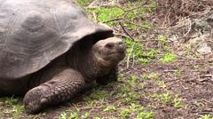 Galapagos Tortoise Adult Lone Fall Floreana Island Stock Footage