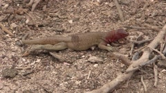 Lava Lizard Male Lone Fall Espanola Island Stock Footage