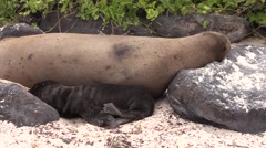 Galapagos Sea Lion Female Adult Young Family Resting Fall Espanola Island Sandy Stock Footage