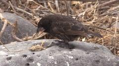 Finch Male Lone Feeding Fall Bill Beak Espanola Island - stock footage