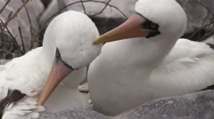 Nazca Booby Male Female Adult Pair Grooming Fall Masked Stock Footage