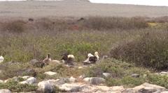 Wave Albatross Adult Chicks Several Fall Espanola Island Stock Footage