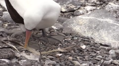 Nazca Booby Male Female Adult Pair Breeding Fall Masked Courtship Pebble Gift Stock Footage