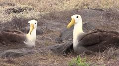 Wave Albatross Adult Pair Sitting Fall Espanola Island Stock Footage