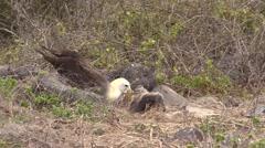 Wave Albatross Adult Chicks Family Feeding Fall Espanola Island Stock Footage