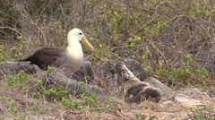 Wave Albatross Adult Young Family Nesting Fall Espanola Island Stock Footage