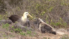 Wave Albatross Adult Young Walking Fall Espanola Island Stock Footage