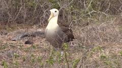 Wave Albatross Adult Lone Walking Fall Espanola Island Stock Footage