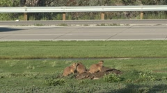Black-tailed Prairie Dog Several Summer Traffic Cars Road Urban Lawn Zoom Out Stock Footage