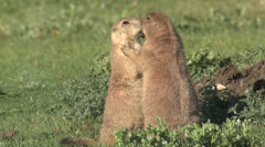 Stock Video Footage of Black-tailed Prairie Dog Pair Summer Affection Hugging
