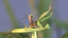 Praying Mantis Lone Summer Froghopper Predator Prey Stock Footage