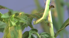 Praying Mantis Lone Hunting Summer Predation Kill Predator Prey Eating Stock Footage