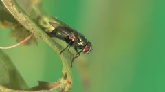 Housefly Lone Summer Tongue Wings Feet Head Stock Footage