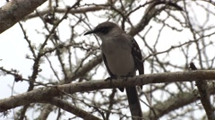 Galapagos Mockingbird Lone Fall Stock Footage